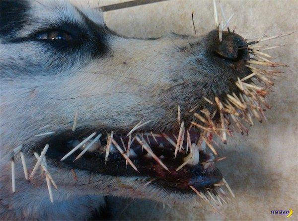 Почему собакам стоит обходить дикобразов?