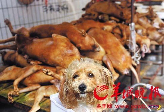 Фестиваль еды из мяса собак в Китае