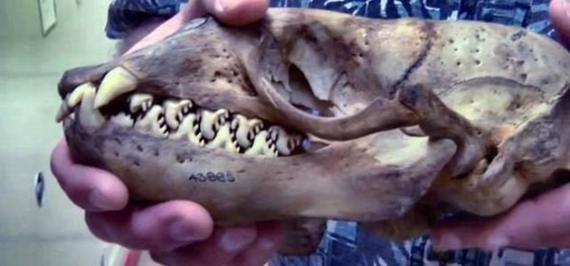 http://banana.by/uploads/posts/2013-07/1375249721_do_you_know_what_animal_this_skull_comes_from_640_01.jpg
