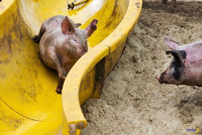 Аттракцион для свинок