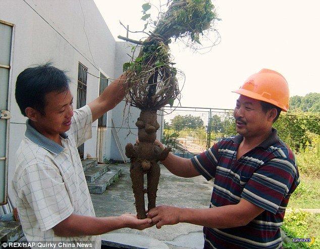 Корнеплод из Китая