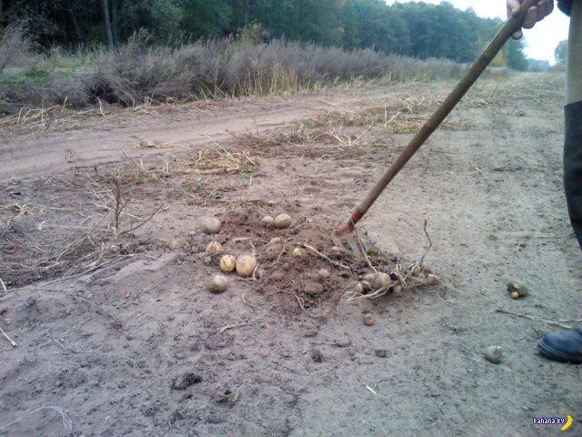 Вот так убирают картофель под Минском!