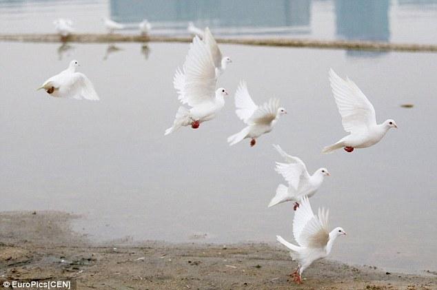 Китай, свадьба, голуби