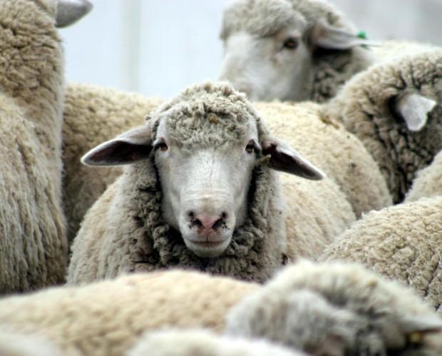 Нидерландский суд отпустил зоофила, потому что изнасилованная овца не