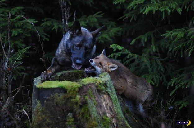 Трогательная дружба пса и лисицы