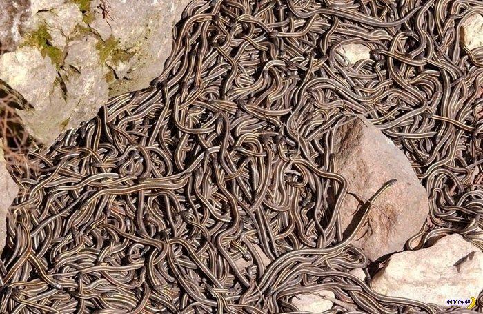 Много-много змей в одном месте