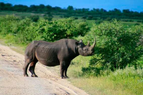 Убить черного носорога