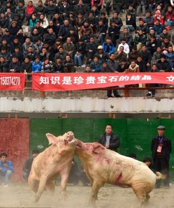 Китайские бойцовые хрюшки