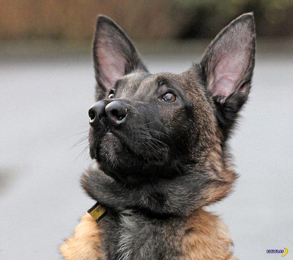 Двуносый пёс