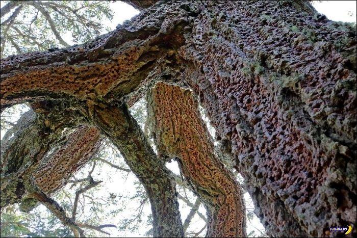 Как дятлы делают заначки