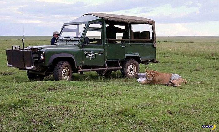 Неприятность у львицы