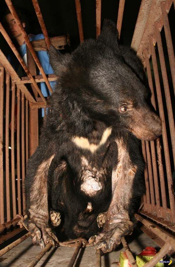 Волшебное снадобье - желчь медведя