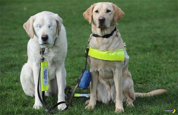 История пса-поводыря, который сам ослеп