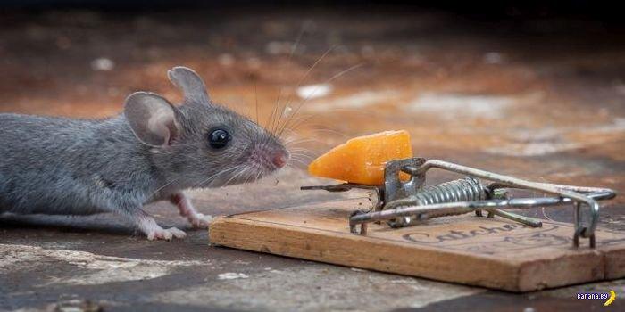 Про мышь и сыр в мышеловке