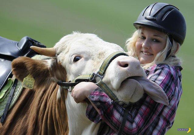 Как корове седло?