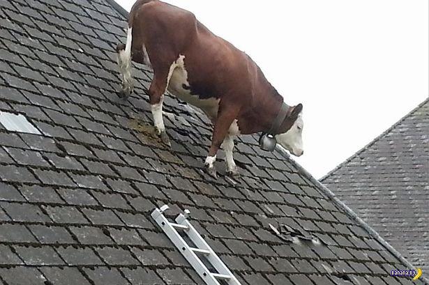 Корова на крыше