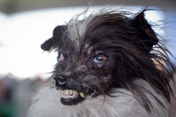 Выбрали самую уродливую собаку в мире