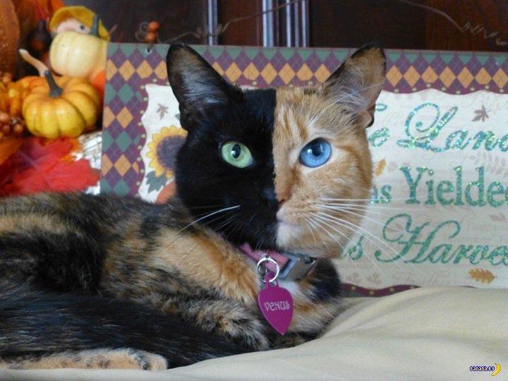 Двуликая кошка