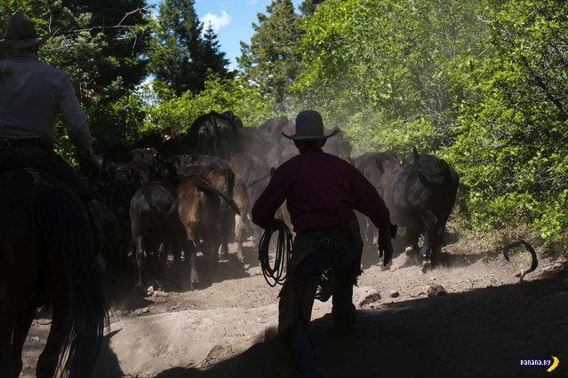 Реальная жизнь современных ковбоев