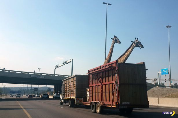 Идиоты убили жирафа при перевозке