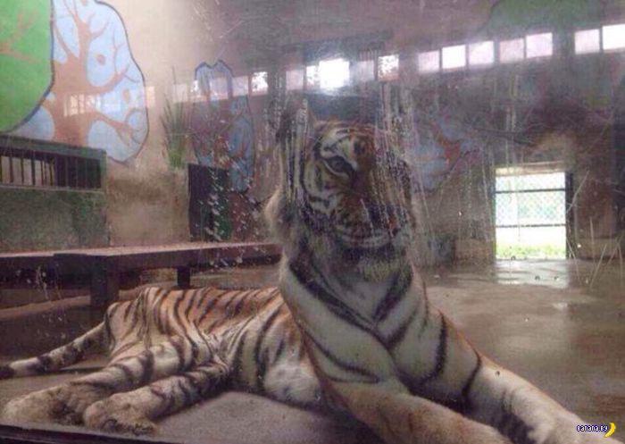 Нормальный тигр!