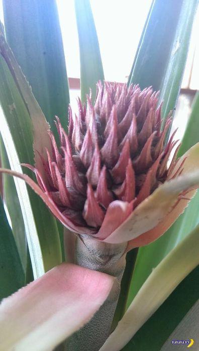 Слабо вырастить дома ананас?
