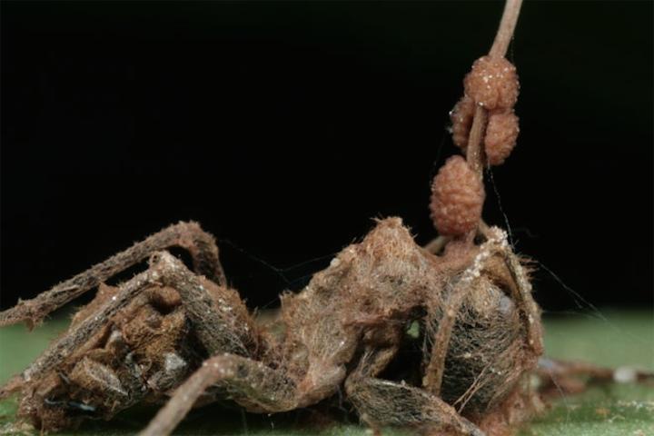 Умный грибок делает из муравьев зомби