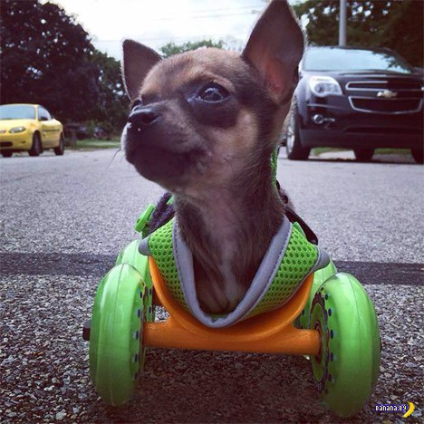 Пёсик на колёсиках