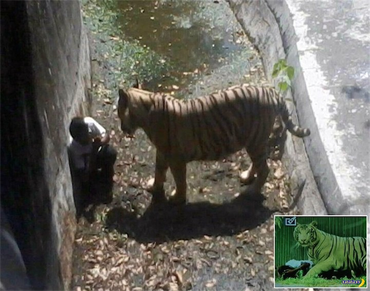 Тигр, а не киска