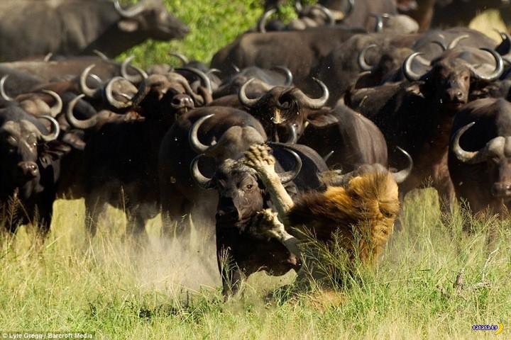 Лев против буйволов