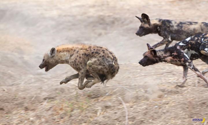 Дикие собаки против гиен