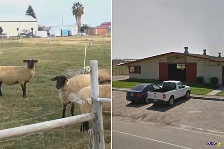 Студент пойман за сексом с овцой