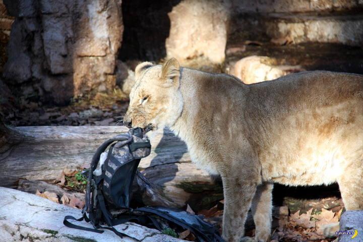 Вырвали мужика из пасти льва