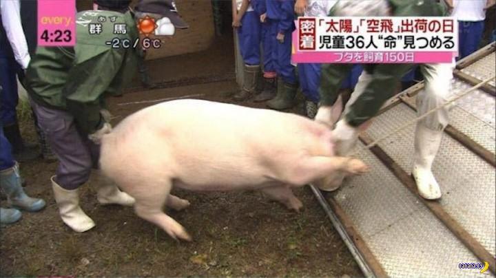 Японские школьники и две свинки