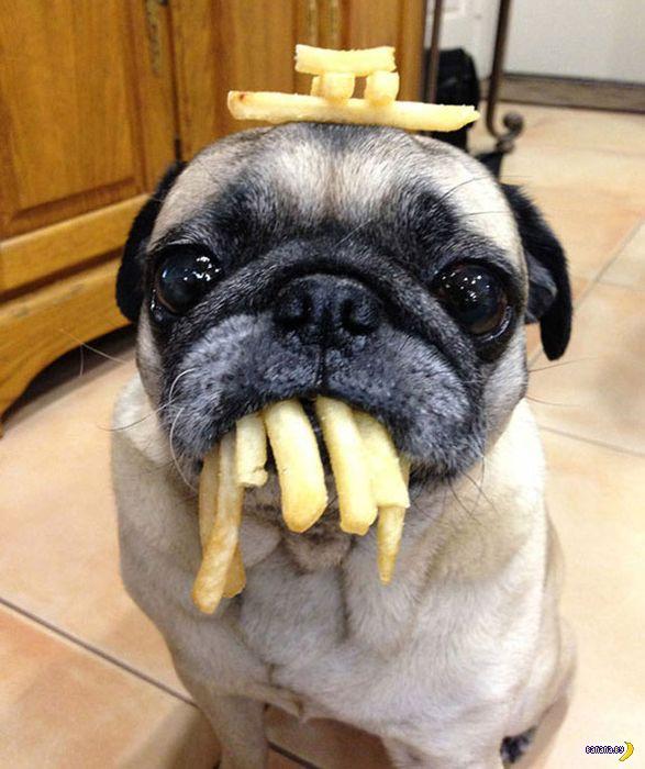 Еда и грустный мопс