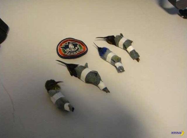 Колибри в трусах