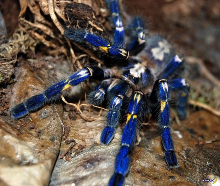 Самый красивый паук в мире