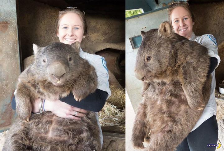 Это Патрик, он самый старый и большой вомбат в мире