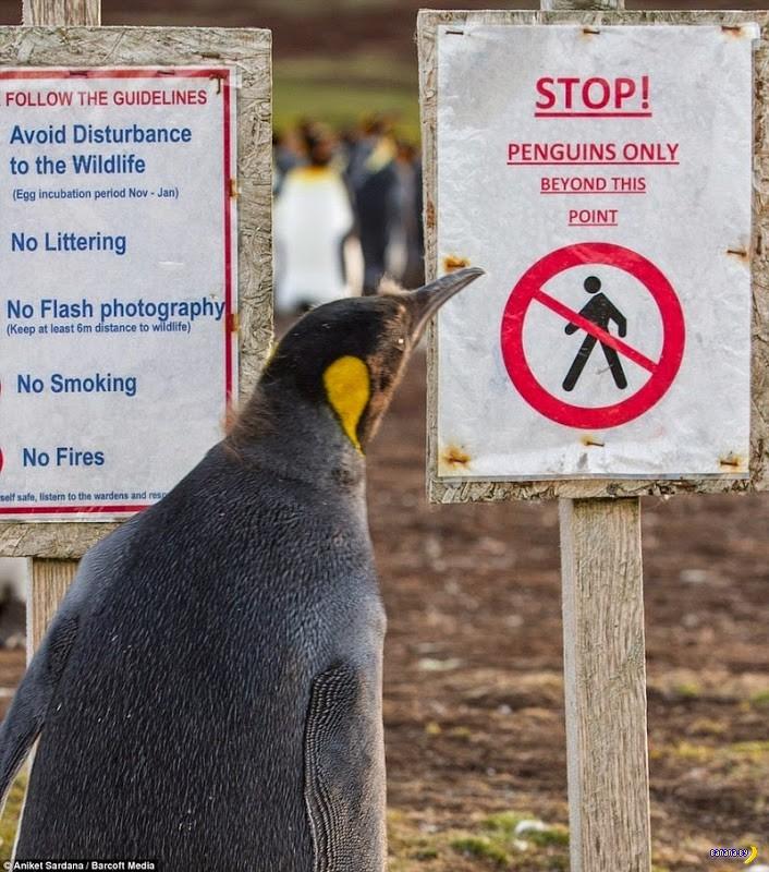 Миллион пингвинов на минах