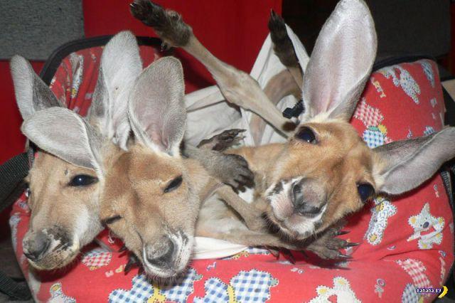 Приют для кенгуру-сирот в Австралии