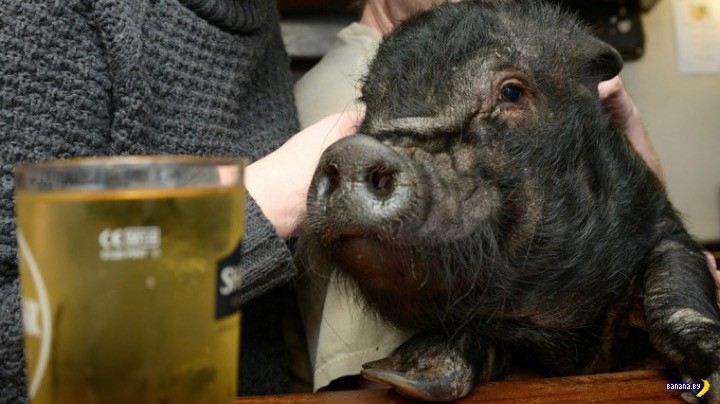 """Свинья попала в """"черный список"""" лондонского паба"""