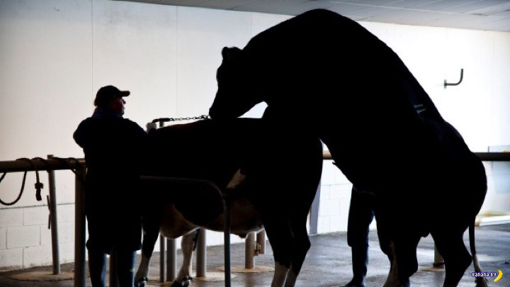 Похищения века - украдена бычья сперма