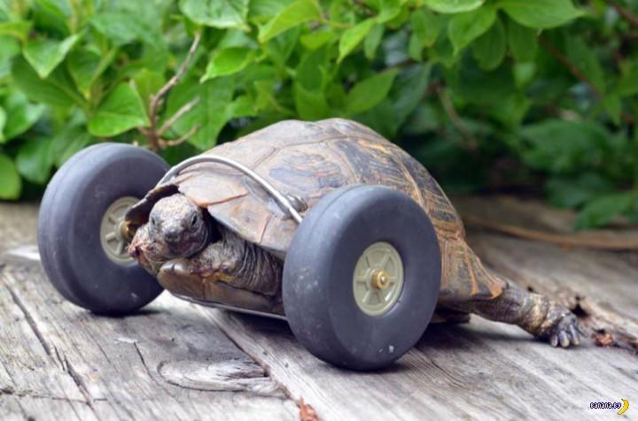 Поставили на колеса черепаху