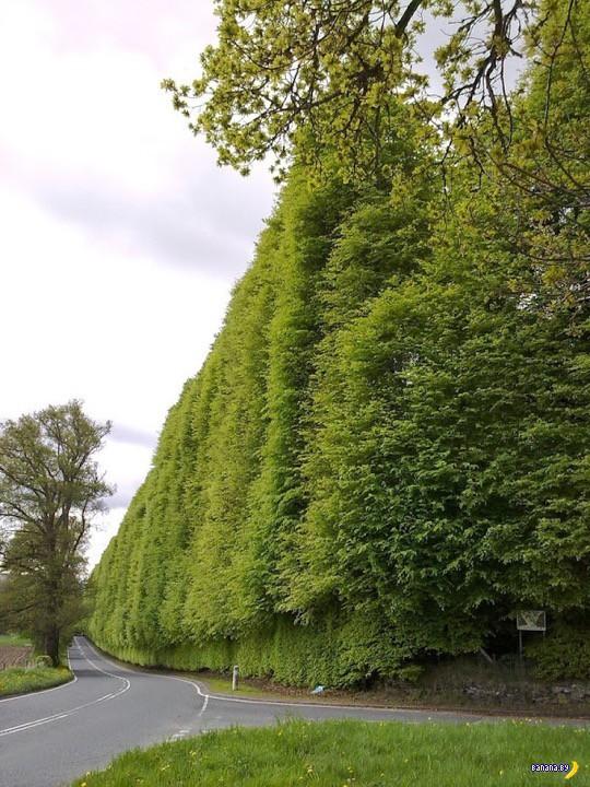 Самая высокая живая изгородь в мире