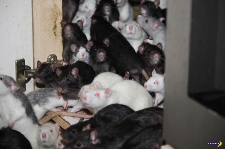 Мой дом –мои крысы!