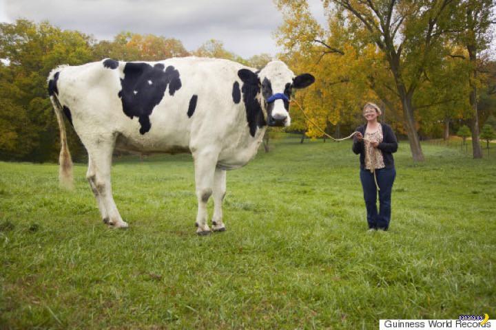 Самая высокая корова в мире