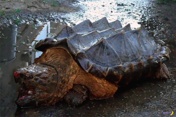 На Амуре поймали черепаху-динозаврка