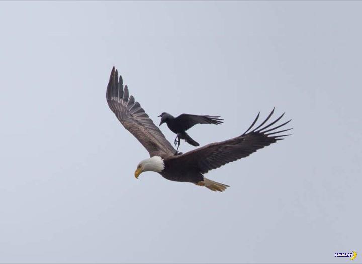 Ворона прокатилась на белоголовом орлане