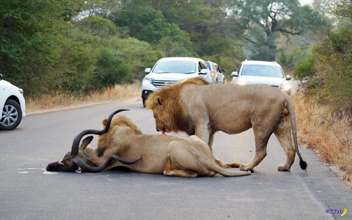 Львы совсем обнаглели