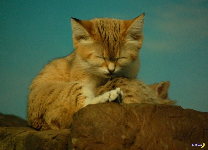 Лучший кот – барханный кот!